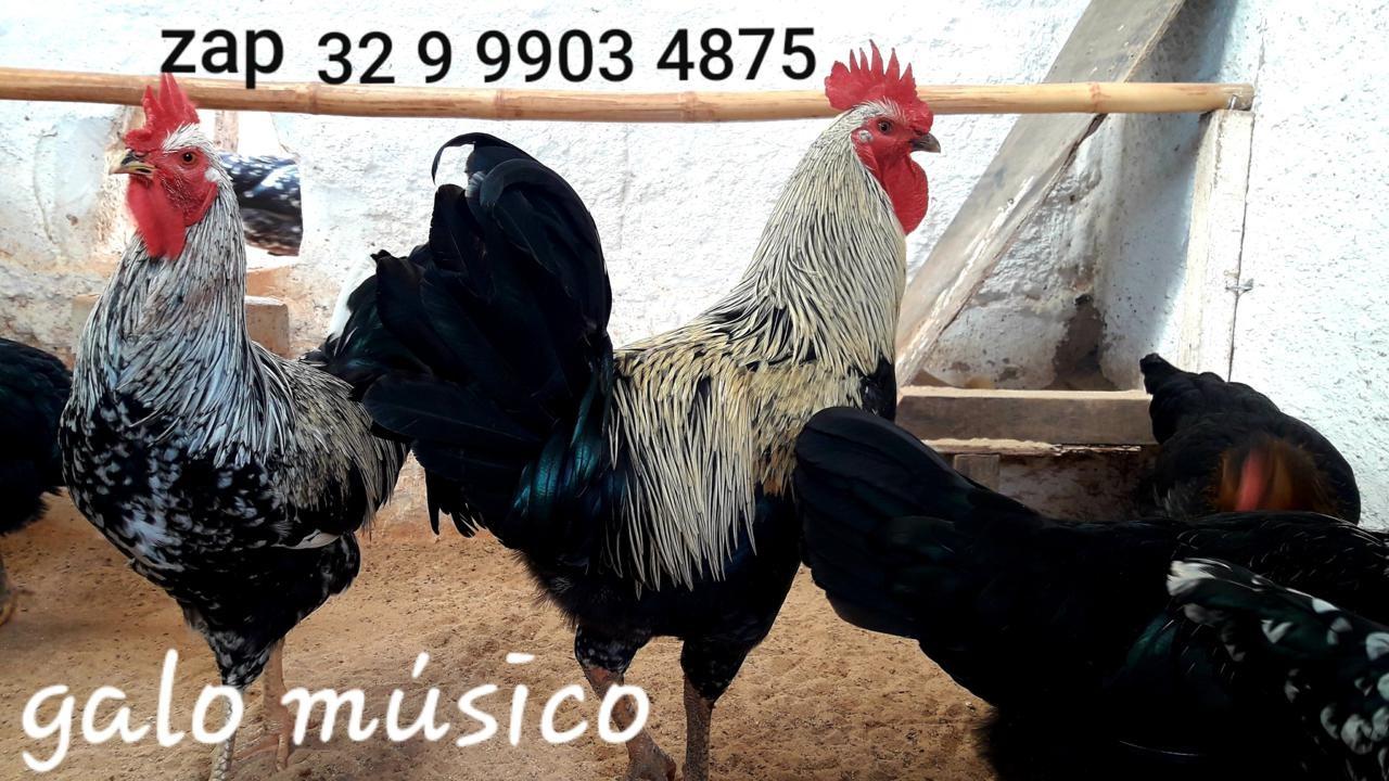 OVOS GALADOS FÉRTEIS PARA CHOCAR DA RAÇA GALO MUSICO CANTOR CANTO LONGO. VENDA DE DÚZIA GALINHAS ORNAMENTAIS