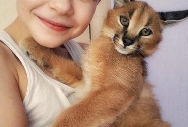 Serval e Savannah, gatinhos registrados caracal